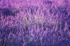 Natural floral lavender background, ultra violet concept - color of the year 2018. Blossoming lavender field natural floral seasonal background, ultra violet royalty free stock images