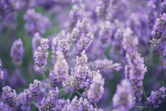 Blossoming lavender Stock Photo