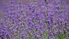 Blossoming lavender stock video