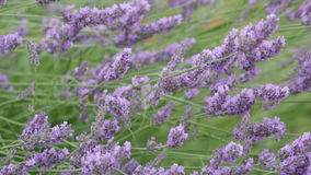 Blossoming lavender stock video footage
