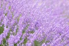 Blossoming lavender Stock Photography