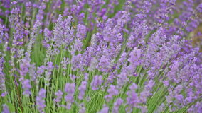 Blossoming lavender stock footage