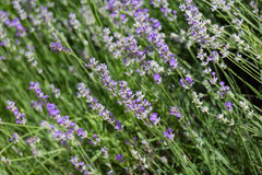 Blossoming lavender Stock Image