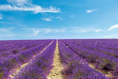Blossoming lavender fields in Provence, France. Stock Photos