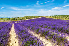 Blossoming lavender fields in Provence, France. Stock Photography