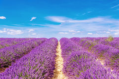 Blossoming lavender fields in Provence, France. Royalty Free Stock Images