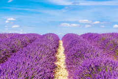 Blossoming lavender fields in Provence, France. Royalty Free Stock Photos