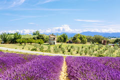 Blossoming lavender fields in Provence, France. Royalty Free Stock Photo