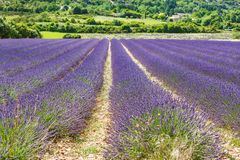 Blossoming lavender fields in Provence, France. On summer sunny day. Valensole in Europe. Beautiful lila blooming flower royalty free stock photo