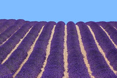 Blossoming lavender fields Royalty Free Stock Photo