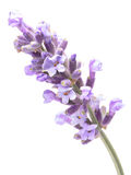 Blossoming Lavender (Lavandula), clipping paths. Blossoming Lavender (Lavandula). Clipping paths, infinite depth of field Royalty Free Stock Photo