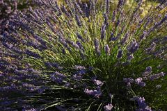 Lavender plant in field. A blossoming lavender plant on the field stock image