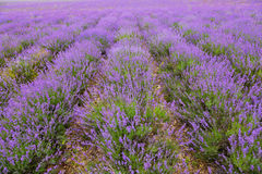 Blossoming lavender in summer day Stock Image