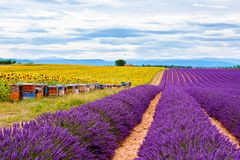 Blossoming lavender and sunflower fields in Provence, France. Stock Photos