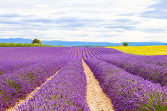 Blossoming lavender and sunflower fields in Provence, France. Stock Image