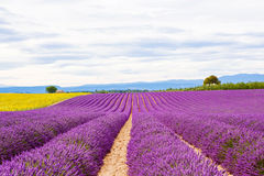 Blossoming lavender and sunflower fields in Provence, France. Royalty Free Stock Photos