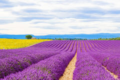 Blossoming lavender and sunflower fields in Provence, France. Royalty Free Stock Photography