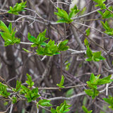 Blossoming leaves on the branches Royalty Free Stock Images