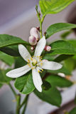 Blossoming lemon tree home form Stock Photo
