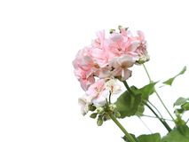 Blossoming light pink geranium flower branch. Isolated on white background stock photos