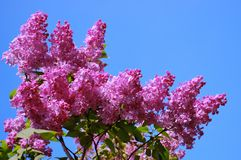 Blossoming lilac. Bush of a blossoming lilac against the pure blue sky. The middle of May Stock Photo