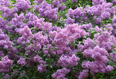 Blossoming lilac. Branches of beautiful blossoming lilac Stock Photography