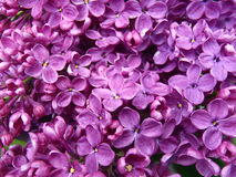 Blossoming lilac Royalty Free Stock Image
