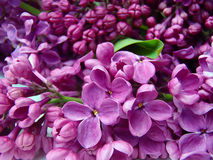 Blossoming lilac Stock Photo