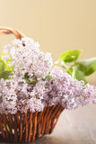 Blossoming lilac in a basket Royalty Free Stock Image