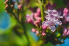 Blossoming lilac Royalty Free Stock Photos