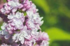 Blossoming lilac Stock Image