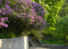 Blossoming lilac. In botanical garden Royalty Free Stock Images