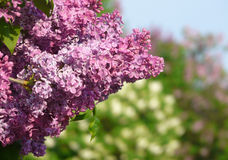 Blossoming lilac. In a botanical garden Stock Photo