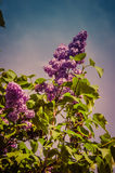 Blossoming lilac branch Stock Image