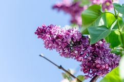 Blossoming lilac branch on the sky background Royalty Free Stock Image
