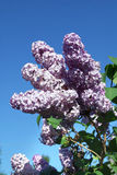 Blossoming lilac branch Stock Photo