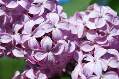 Blossoming lilac branch Royalty Free Stock Photo