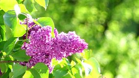 Blossoming lilac bush stock footage