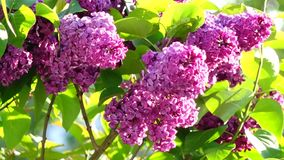 Blossoming lilac bush stock video footage