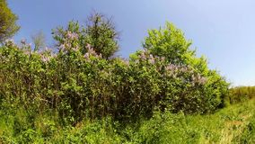 Blossoming lilac bushes in the forest stock video
