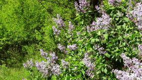 Blossoming lilac bushes stock video footage