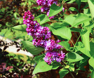 Blossoming lilac in the city park Royalty Free Stock Image
