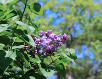 Blossoming lilac in the city park Stock Photography