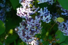 Blossoming lilac close up.Blurred background. Flowers of lilacs macro. Summer. Sony a 57 Royalty Free Stock Images