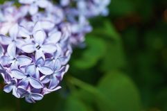 Blossoming lilac close up.Blurred background. Flowers of lilacs macro. Summer. Sony a 57 Stock Photo