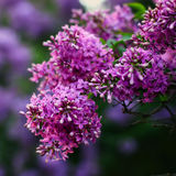 Blossoming lilac flowers Royalty Free Stock Images