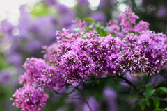 Blossoming lilac flowers Stock Image