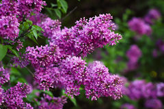 Blossoming lilac flowers Royalty Free Stock Photos