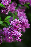 Blossoming lilac flowers Stock Photos