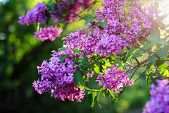 Blossoming lilac flowers Royalty Free Stock Photo